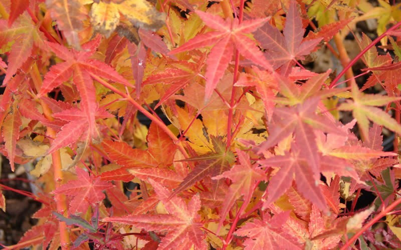 Golden Bark Bihou Japanese Maple Photo 2