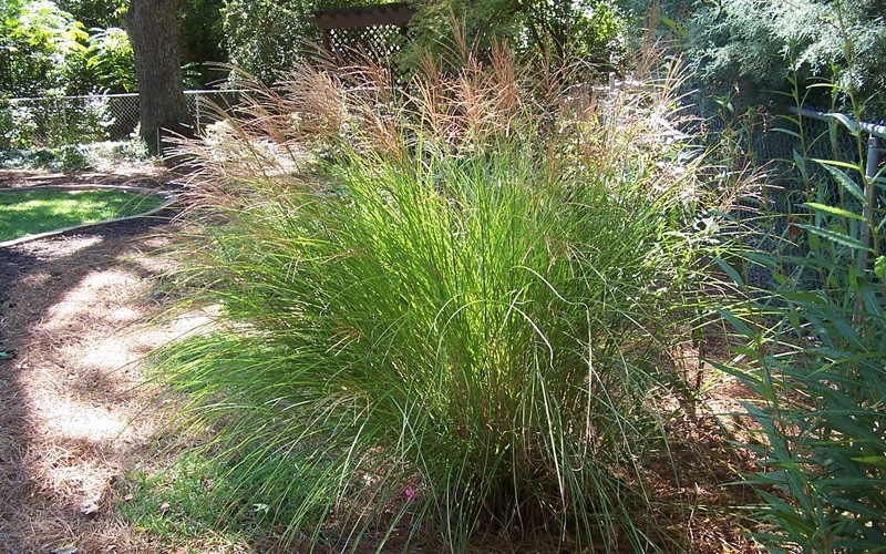 Maiden Grass - Miscanthus sinensis 'Gracillimus' Photo 3