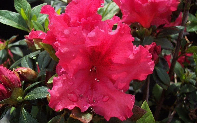 Red Ruffle Azalea Photo 2
