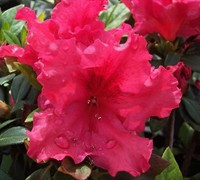 Shop Red Ruffle Azalea - 2.5 Quart