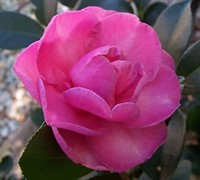 Stephanie Golden Camellia Sasanqua
