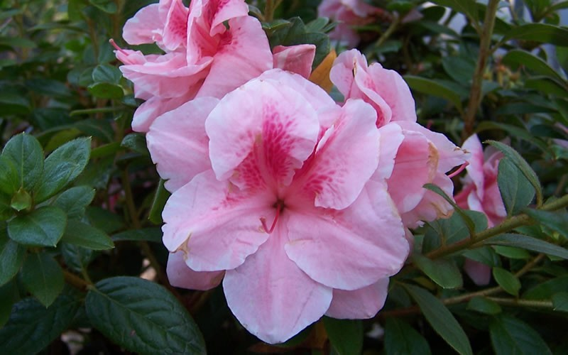 Autumn Belle Encore Azalea Photo 4