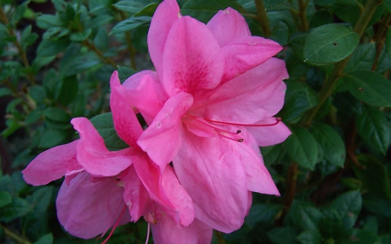 Autumn Empress Encore Azalea Photo 2