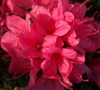 Autumn Cheer™ Encore® Azalea