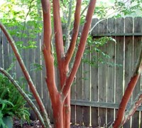 Shop Natchez Crape Myrtle - 3 Gallon