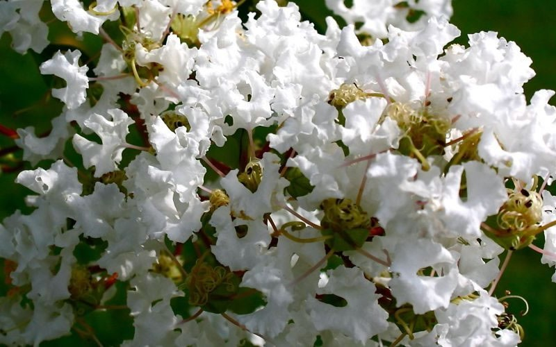 Natchez Crape Myrtle Photo 3