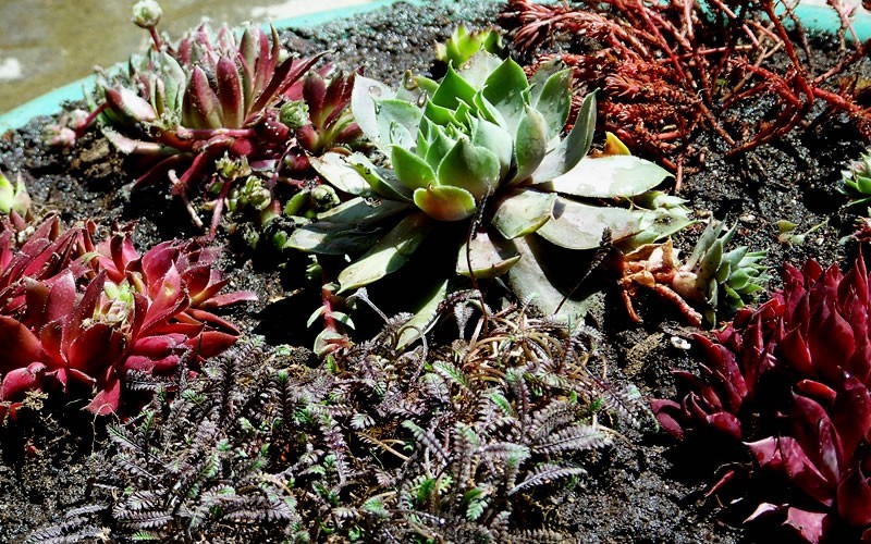 Sempervivum 'Black' - Black Hens And Chicks Photo 2
