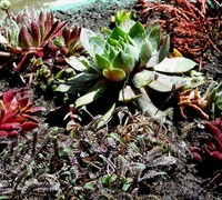 Shop Sempervivum 'Black' - Black Hens And Chicks - 3 Count Flat of Pint Pots