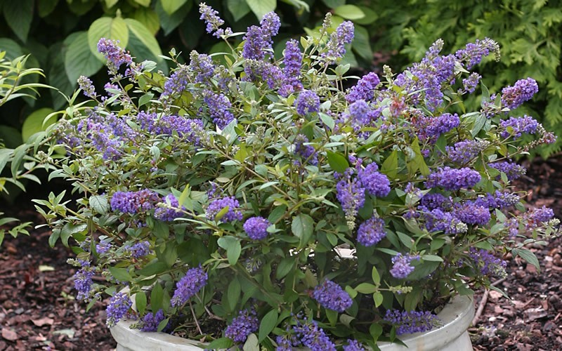 butterfly bush Buddleja davidii is a fast-growing and undemanding shrub from china it is ideal for a wide range of positions in the garden, providing they are sunny and the.