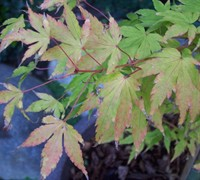 Shop Sango Kaku Coral Bark Japanese Maple - 2 Gallon