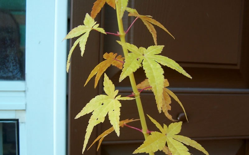 Golden Bark Bihou Japanese Maple Photo 3