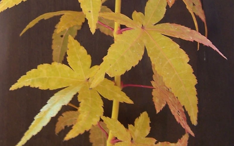 Golden Bark Bihou Japanese Maple