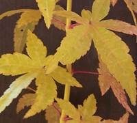 Shop Golden Bark Bihou Japanese Maple - 2 Gallon