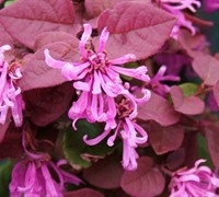 Ruby Loropetalum - Loropetalum chinense var. rubrum 'Ruby'