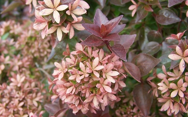 Rose Creek Dwarf Abelia - 3 Gallon - Low Maintenance Shrubs | ToGoGarden