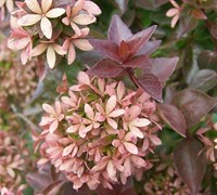 Shop Rose Creek Dwarf Abelia - 3 Gallon