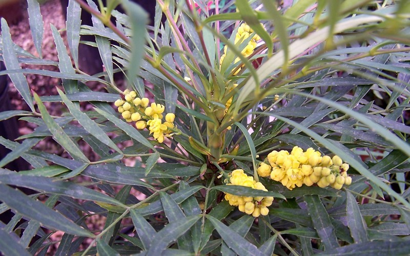 Soft Caress Mahonia Photo 2
