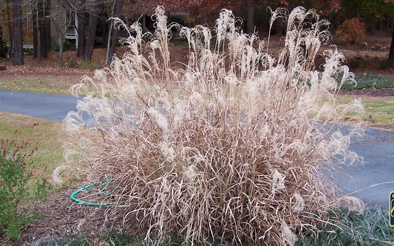 Little Zebra Grass - Miscanthus sinensis 'Little Zebra' Photo 3
