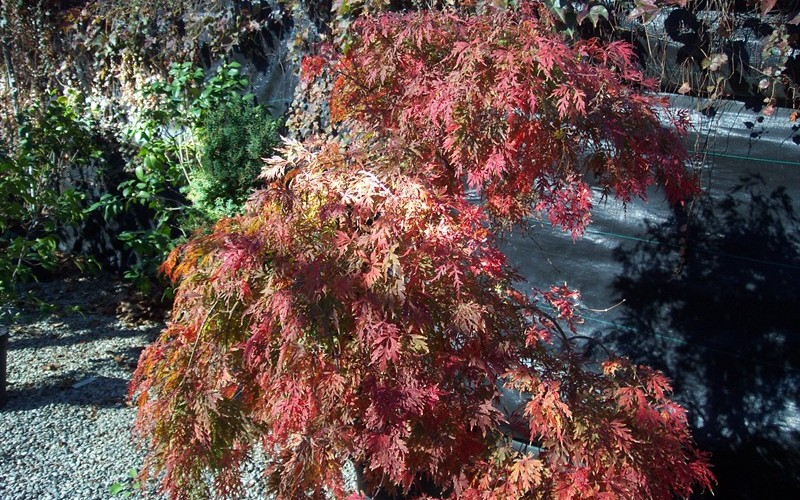 Orangeola Japanese Maple Photo 3