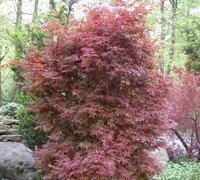 Skeeter's Broom Japanese Maple