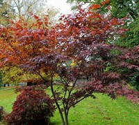 Nuresagi Japanese Maple
