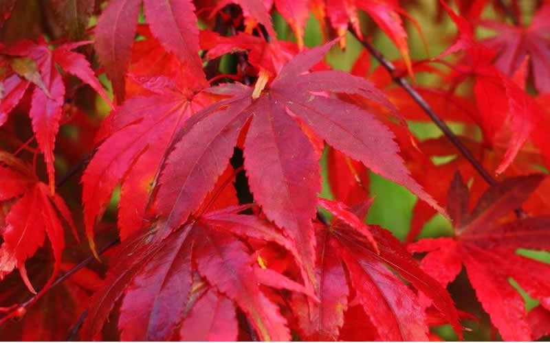 Osaka zuki Japanese Maple - 3 Gallon - Japanese Maples | ToGoGarden