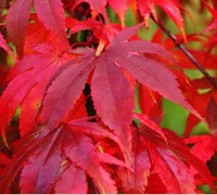 Osaka zuki Japanese Maple