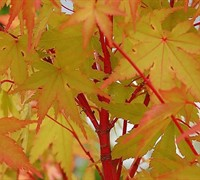 Fjellheim Dwarf Coral Bark Japanese Maple