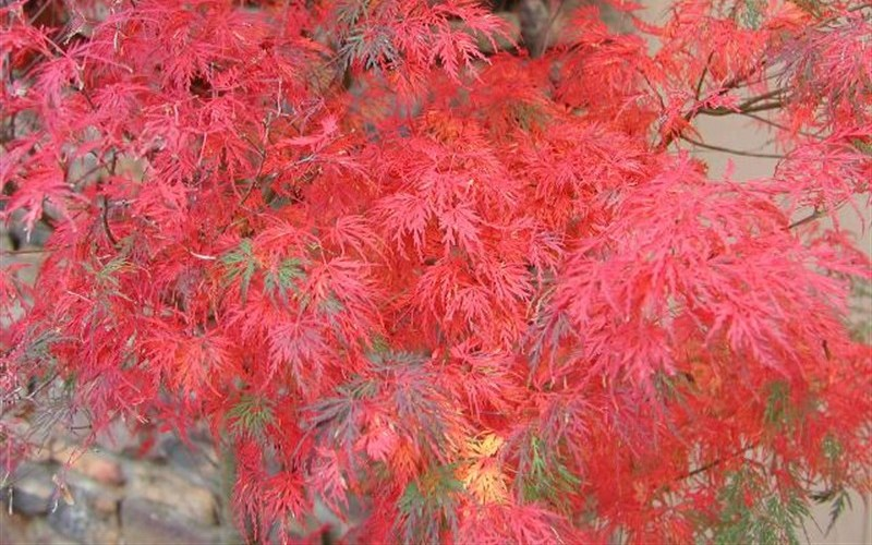 Seiryu Japanese Maple Photo 2