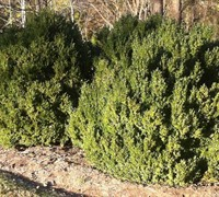 Shop American Boxwood - 3 Gallon