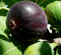 Shop Black Mission Fig - 1 Gallon