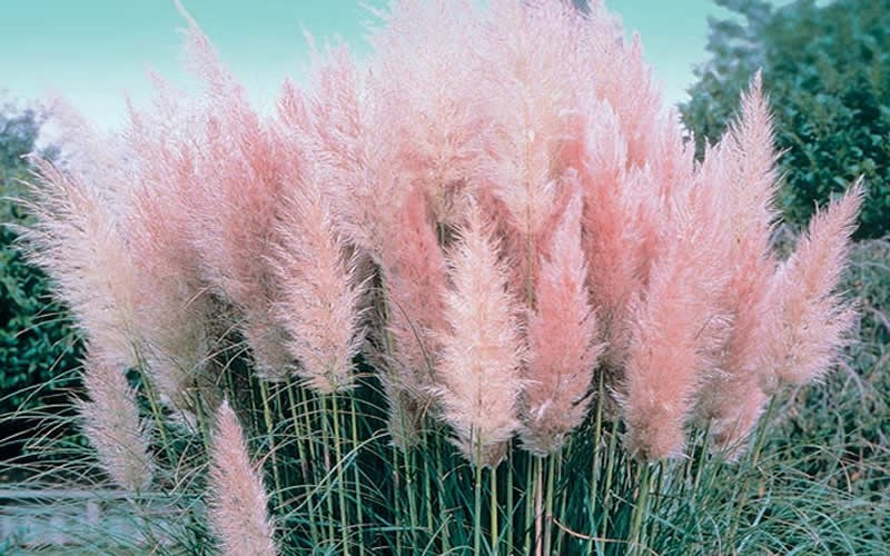 Buy Pink Pampas Grass Plants Online 3 Gallon Gardener Direct