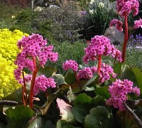 Shop Winter Glow Bergenia - 3 Count Flat of Pint Pots