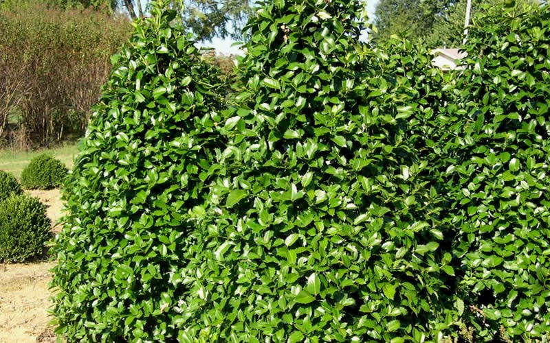 Emily Brunner Holly - 1 Gallon - Evergreen Trees | ToGoGarden