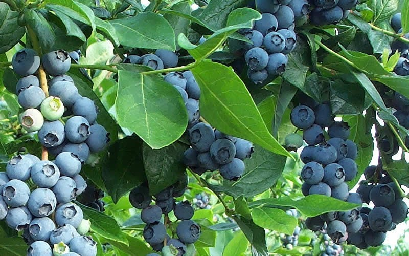 Premier Rabbiteye Blueberry - 3 Gallon - Blueberry Bushes - Rabbiteye | ToGoGarden