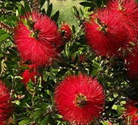Shop Bottlebrush Scarlet Compacta - 3 Gallon