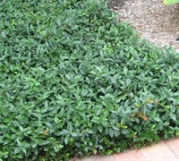 "Shop Asiatic Jasmine - 18 Count Flat  of 3.5"" Pots"