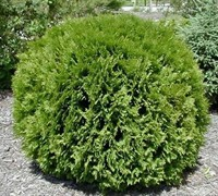 Global Arborvitae - Thuja occidentalis 'Woodwardii'