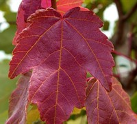 Summers Red Red Maple