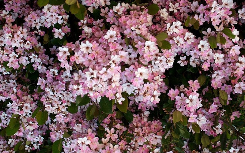 Eleanor Taber Indian Hawthorne 3 Gallon Shrub Shrubs For