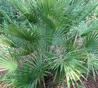 European Fan Palm - Chamaerops humilis