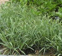 Blue Bunny Sedge Grass - Carex