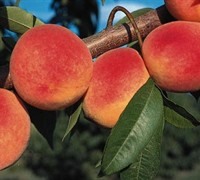 Shop Red Haven Peach - 5 Gallon