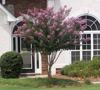 Shop Muskogee Crape Myrtle - 3 Gallon - Single Trunk