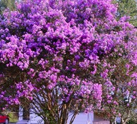 Shop Twilight Crape  Myrtle - 1 Gallon