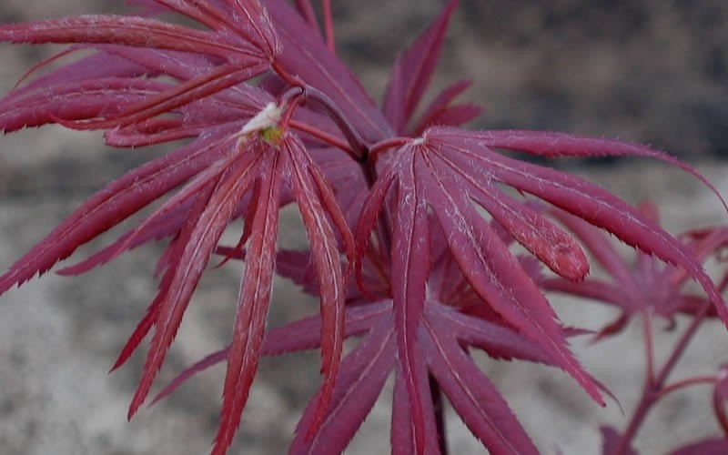 Shaina Japanese Maple - 3 Gallon - Japanese Maples | ToGoGarden