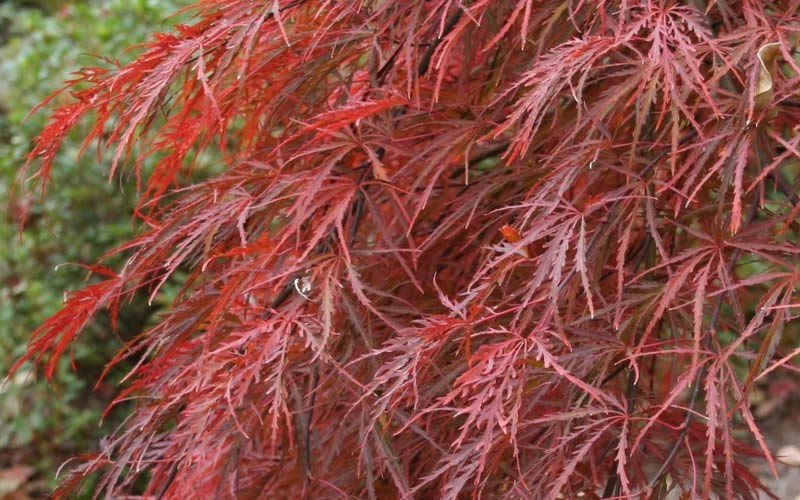 Crimson Queen Japanese Maple  - 2 Gallon - Japanese Maples - All | ToGoGarden