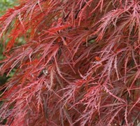 Crimson Queen Japanese Maple (On Sale 20% Off For A Limited Time!)
