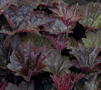 Shop Palace Purple Heuchera - 1 Gallon