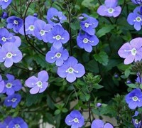 Shop Georgia Blue Speedwell - 1 Gallon